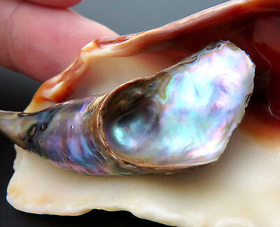 WILD NATURAL ABALONE PEARL - RARE 53MM LARGE NATURAL CALIFORNIA PEARL - BAROQUE