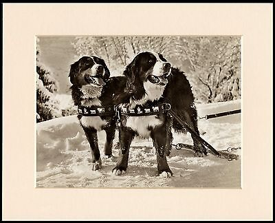 BERNESE MOUNTAIN DOGS IN SNOW SCENE LOVELY DOG PRINT MOUNTED READY TO FRAME