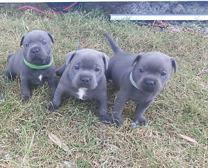 Blue english staffy Warwick Southern Downs Preview