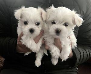 Bichon Maltais mâle Teacup (Pension Puppy Love)