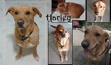 "Adult Male Dog - Labrador Retriever: ""Harley"" Cambridge Kitchener Area image 2"