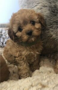 F1 Toy Cavoodle Pups x 6, DNA clear