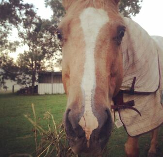 Beautiful palomino quarter horse for sale  Minmi Newcastle Area Preview