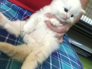 SOLD Ragdoll Himalayan Cream Point Male Kittens
