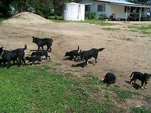 Kelpie X Collie pups Inverell Inverell Area Preview