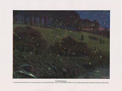 ürmchen (Lampyridae) Schwarm Käfer   Farbdruck von 1912 (Leuchtkäfer, Insekt)