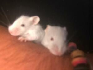 Baby mice for sale Broadmeadows Hume Area Preview