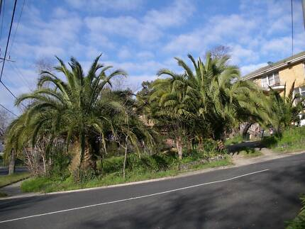 Spectacular Canary Island Palms Eaglemont Banyule Area Preview