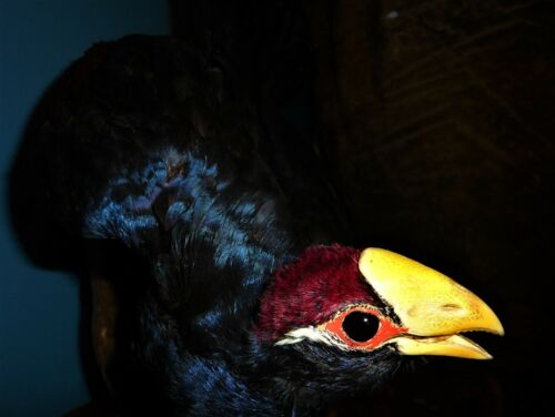 Violet Turaco bird  standing Taxidermy