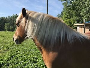 Haflinger Mare for rehome