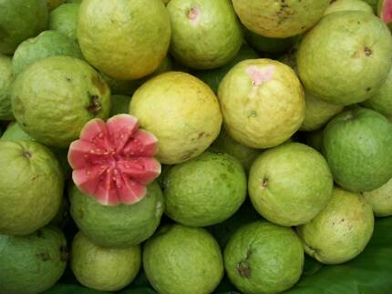 Large guava tree tropical Busby Liverpool Area Preview