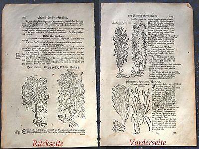 GINSTER, LINSEN. Pflanzen. Orig. Holzschnitt von LONITZER 1557 (1700)