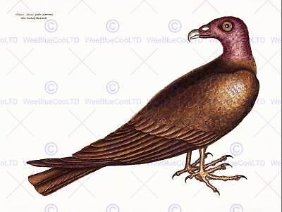 BUZZARD BIRD PREY BEAK HAWK BLACK FRAME FRAMED ART PRINT PICTURE MOUNT B12X9324