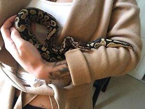 Male ball python-everything included