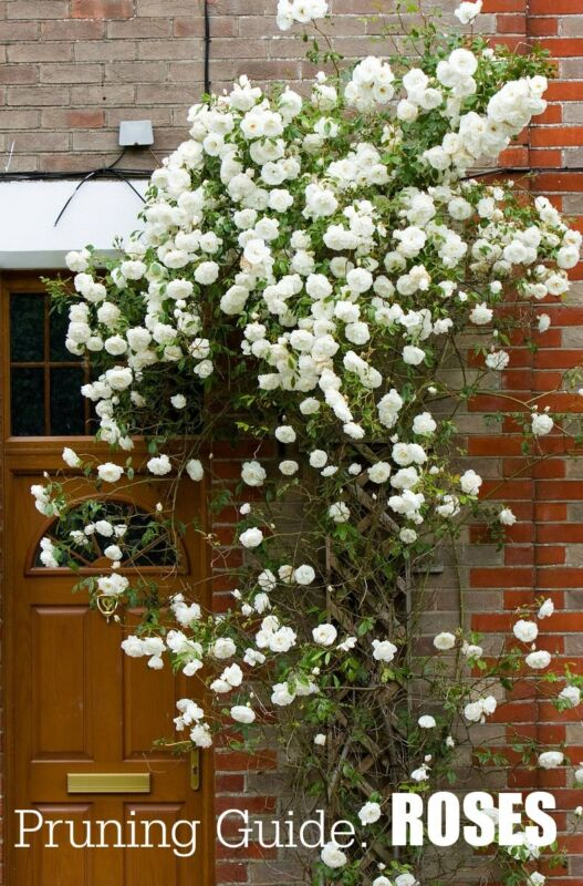 Garden Pruning Guide | Roses | List of rose varieties and when to prune.