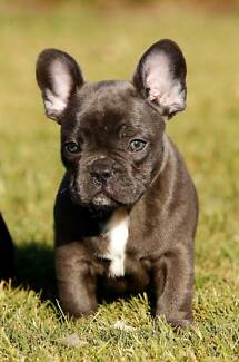 FRENCH BULLDOG Blue puppies for sale Brisbane City Brisbane North West Preview