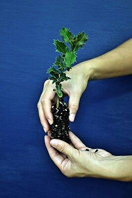 Ilex Aquifolium a60 Acebo Planta Alvéolo Common Holly Alvéolo Plant