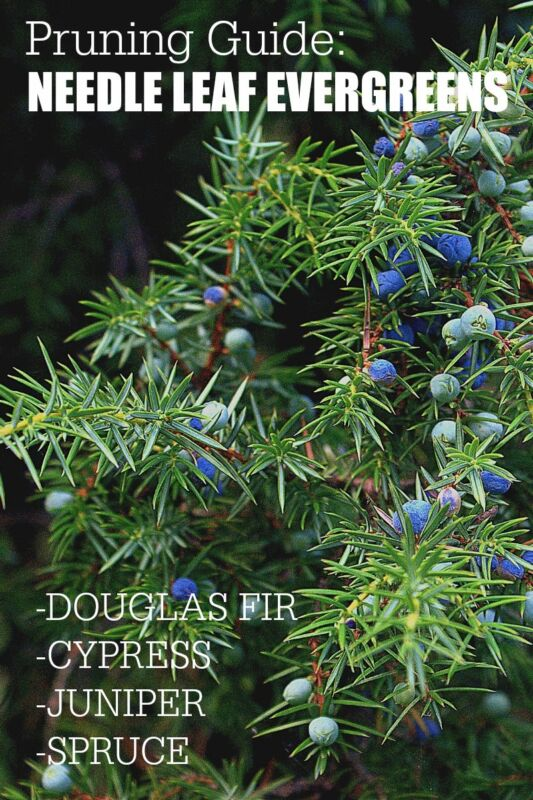 Garden Pruning Guide | Needle Leaf Evergreens | Douglas Fir, Cypress, Juniper, Spruce.