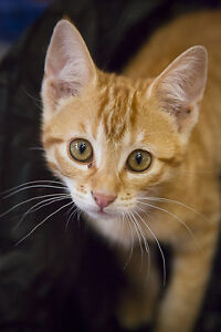 Cats and Kittens for sale - Cat Haven Shelter Shenton Park Nedlands Area Preview
