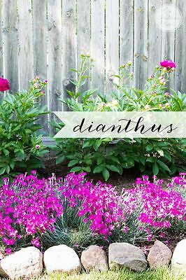 5 More Must-Have Perennials | from On Sutton Place | Dianthus