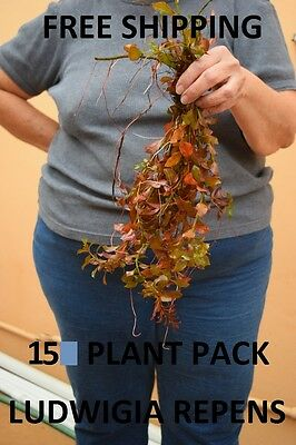 15 Stems Red ludwigia repens live aquarium plants aquascaping planted tank easy