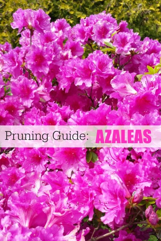 Garden Pruning Guide | Broadleaf Evergreens | Azaleas, Holly, Magnolia