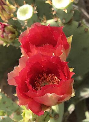 Prickly Pear Cactus Pad Plant Rich Orange Red Flower BIG Wine Fruit -