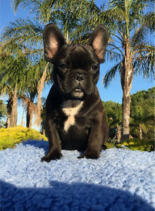 Pure Bred French Bulldog Puppies Adelaide CBD Adelaide City Preview