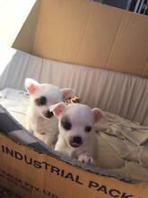 Pomeranian x Maltese x Chihuahua x3 FEMALES, (ORDER FIRST) Bidwill Blacktown Area Preview