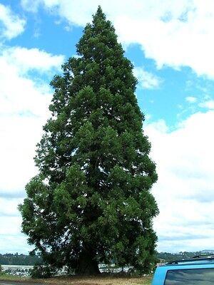Giant Sequoia, Sequoiadendron giganteum, Tree Seeds (Fast, ...
