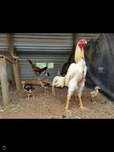 Shamo, Thai, asil and aseel gamefowl chickens Berri Berri Area Preview