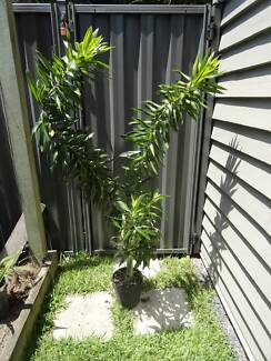 Large Potted Variegated Cordyline 1.5m tall