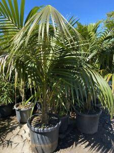 Kentia palm sun grown Howea Fosteriana