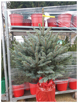 Live, Living, Fresh, Real Christmas Tree 100-125cm-Picea Super Blue Plant in ...