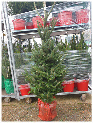 Live, Living, Fresh, Real Christmas Tree 125-150cm-Picea omorika Plant in  9 ...