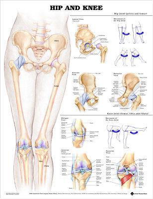 Hip And Knee Orthopedics Anatomy Poster Anatomical Chart Company