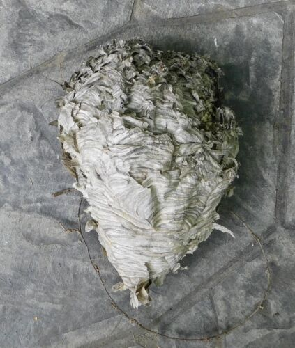 Natural Paper Wasp Nest Hornet Hive 15 x 10 Inches Insect Science