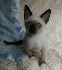 TONKINESE RAGDOLL  KITTENS with mittens
