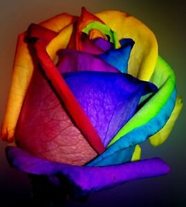 Make Your Own Rainbow Rose 10 Seeds Comb S H See Our Store