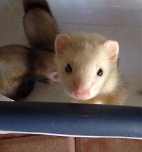 12 week old ferret kits Gosnells Gosnells Area Preview
