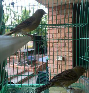 Male Whistling Canaries