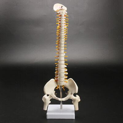 45cm Spine Model With Pelvis Femur Heads 12 Life Lab Equipment Detailed
