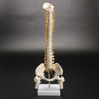 450mm Life Size Vertebral Column Human Spine Anatomical Model Skeleton