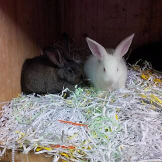 LARGE BREEDS OF RABBITS Smithfield Parramatta Area Preview