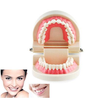 Dental Dentist Flesh Pink Gums Standard Teeth Tooth Adult Teach Model Equipment