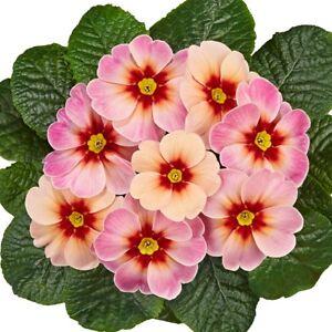24 Primrose Pink Champange  Primula Perennial  Bedding Patio Plug plants