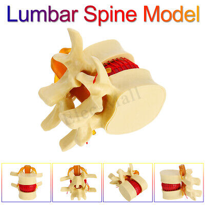 Anatomical Human Vertebrae Spine Lumbar Anatomy Model Display Magnification 2x