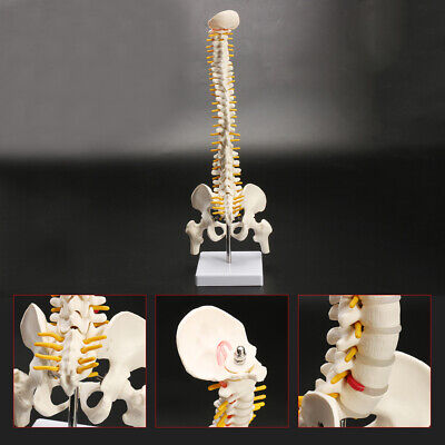 18 Spine Model With Pelvis Femur Heads 12 Life Lab Equipment Detailed 1pc Us