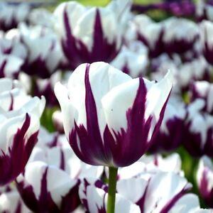PRE-ORDER - Humphreys Garden Blueberry Ripple Tulip x 10 Bulbs, Rare.
