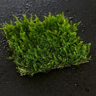Java moss PAD 8x8cm- moos Live aquarium fish tank water plants steel mesh